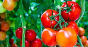 Cách trị nám da mặt bằng cà chua hiệu quả bất ngờ