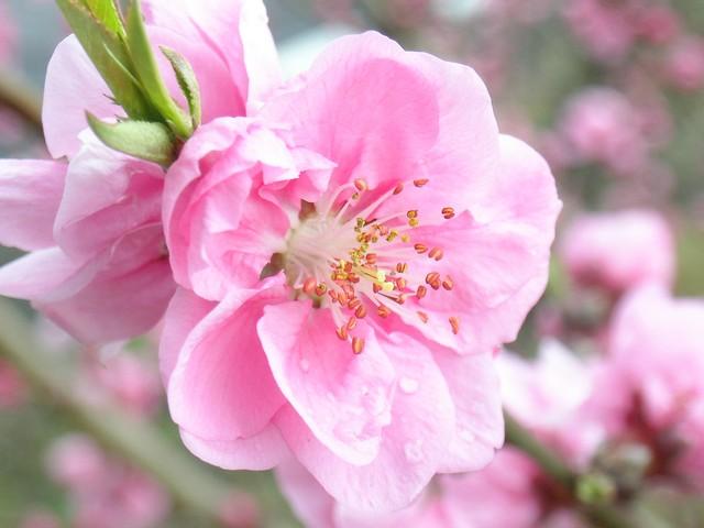 Hoa đào - nguyên liệu không thể thiếu trong bài thuốc đông y trị tàn nhang