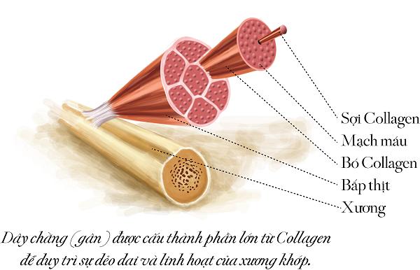 Tác dụng của collagen đối với xương